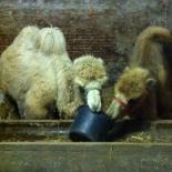 Unsere Kamele im Stall...futterneidisch
